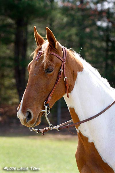 American Registered Racking Horse