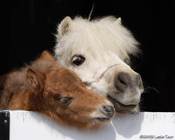 Miniature Horse and mom
