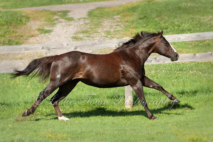 Rose - Quarter Horse mare at a gallop