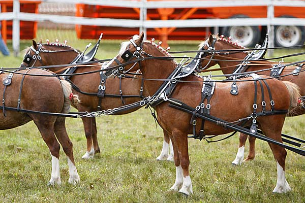 Six horse carriage pony hitch