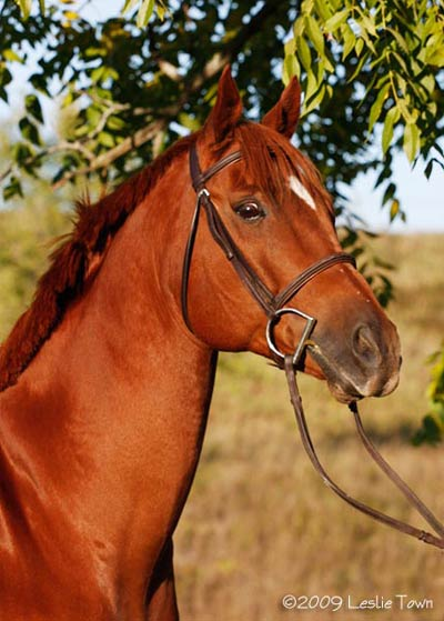 Thoroughbred Quarter Horse