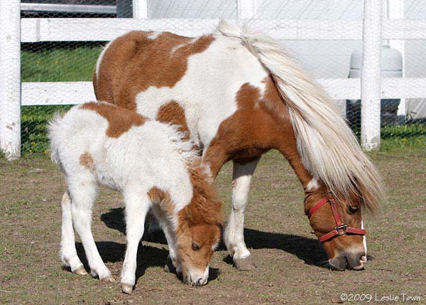 Miniature Mare and filly