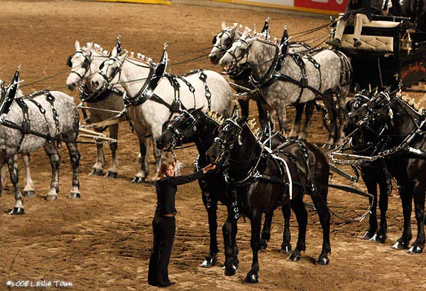 Percheron 6 horse hitch