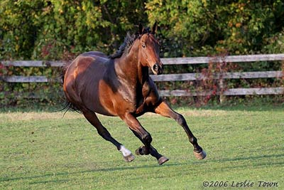Young horsesThoroughbred Horse in Field